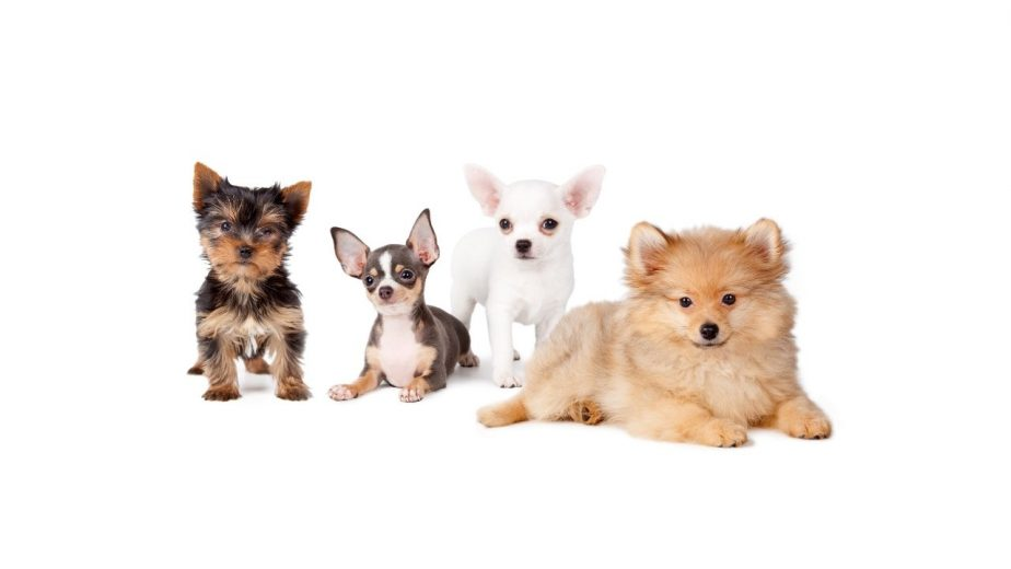 Best Small Guard Dogs for Seniors